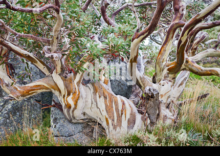 Colourful Snow Gum growing around a rock. - Stock Photo