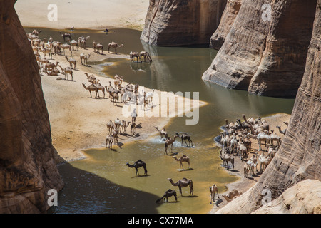 Camels at Waterhole Ennedi Mountains Chad - Stock Photo