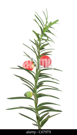 branch yew with red fruits on white background - Stock Photo