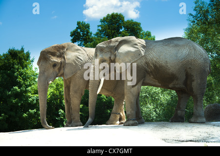 This is an image of African elephants at the Toronto Zoo - Stock Photo