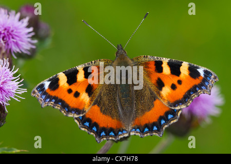 Small Tortoiseshell (Aglais urticae) butterfly on a thistle flower - Stock Photo