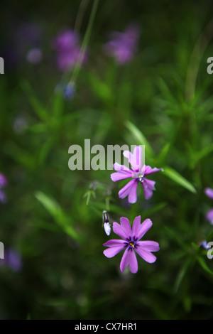 Saponaria ocymoides - silene - Rock Soapwort - Tumbling Ted - Caryophyllaceae - Stock Photo