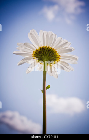 Ox-eye Daisy, Leucanthemum vulgare, a common wildflower in the UK. - Stock Photo