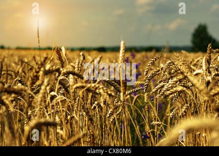 Golden wheat field under sunny blue sky - Stock Photo