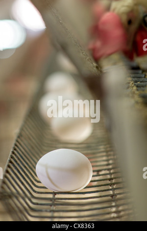 Egg farming. Hens in a battery Photographed in Israel - Stock Photo