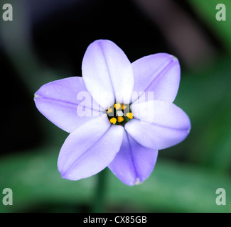 Ipheion Rolf Fiedler blue spring flower bulb bulbs perennial RM Floral - Stock Photo