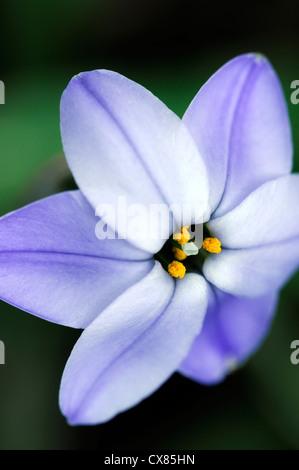 Ipheion Rolf Fiedler blue spring flower bulb bulbs perennial RM floral - Stock Photo