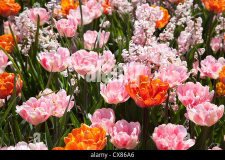 Double tulips with an interesting color combination of orange and pink in a spring garden with hyacinth. - Stock Photo