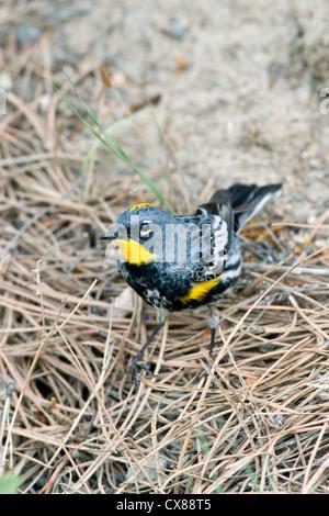Audubon's Warbler - Stock Photo