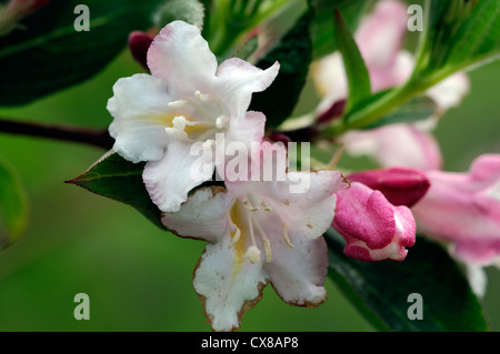 weigela japonica var sinica flowering flowers blooms blossoms shrub shrubs pink white plant portraits closeup selective - Stock Photo