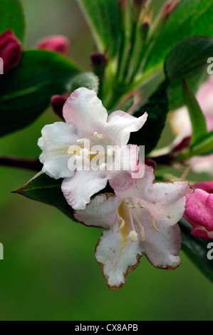 weigela japonica var sinica flowering flowers blooms blossoms shrub shrubs pink white plant portraits closeup selective - Stock Photo