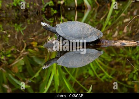 Amazon river turtle on its natural habitat - Stock Photo