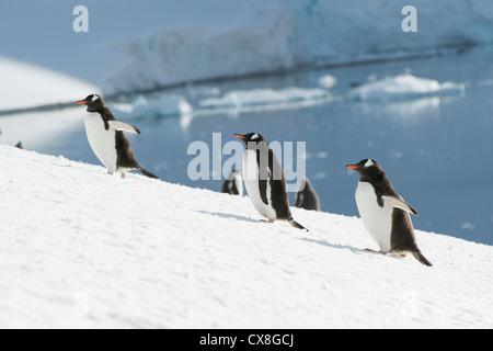 Gentoo Penguin (Pygoscelis Papua); Antarctica - Stock Photo