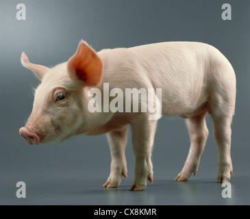20 25 lb., 4 week old feeder pigs stock photo, royalty