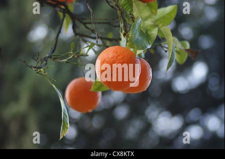 Seville Oranges taken in Seville, Spain - Stock Photo