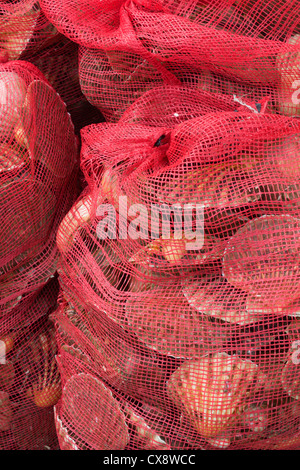 Bags of scallops caught fresh on the day - Stock Photo