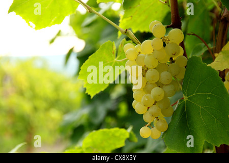Grapes hanging on the vine in a bunch. - Stock Photo