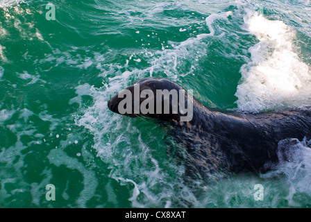 Grey seal, Halichoerus grypus, swimming on the surface - Stock Photo