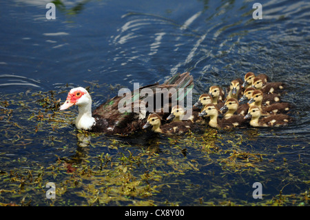scobie duck with twelve cute ducklings - Stock Photo
