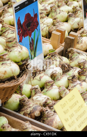 Amaryllis bulbs for sale in Amsterdam Flower Market - Stock Photo