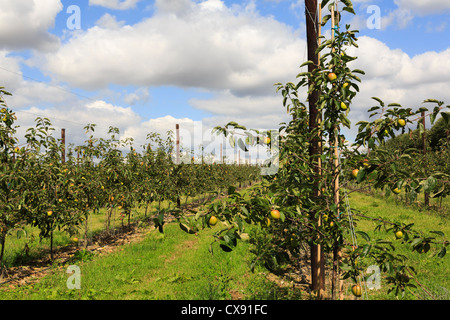 Apple orchard with ripe apples growing on the rows of trellised young trees in late summer in Kent, England, UK, - Stock Photo
