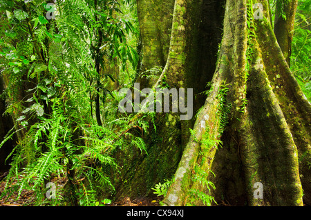 Giant Root of an ancient rainforest tree in Dorrigo National Park. - Stock Photo