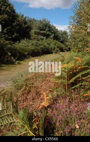Sandlings Walk, Tunstall Forest, Suffolk, UK - Stock Photo