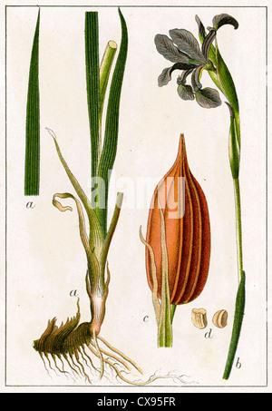 Iris spuria - Stock Photo