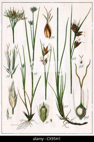 Rhynchospora alba - Rhynchospora fusca - Stock Photo