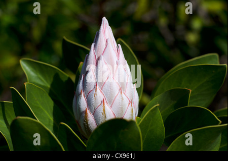 The white king protea plant (Cynaroides), the National Flower of South Africa, closed moment before bloom. - Stock Photo