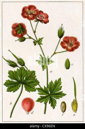 Geranium phaeum - Stock Photo