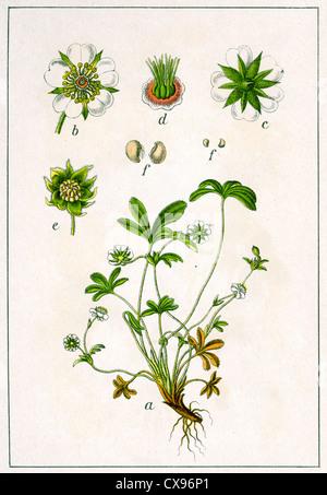 Potentilla alba - Stock Photo