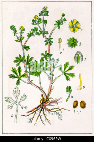 Potentilla argentea - Stock Photo