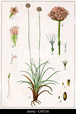 Statice armeria elongata - Stock Photo