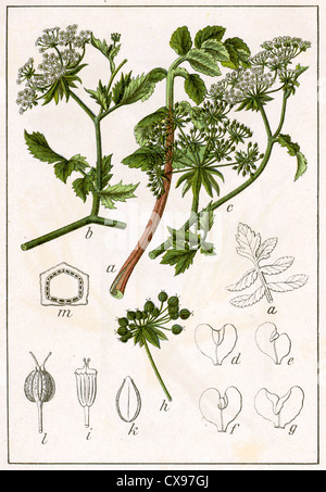 Sium angustifolium - Stock Photo
