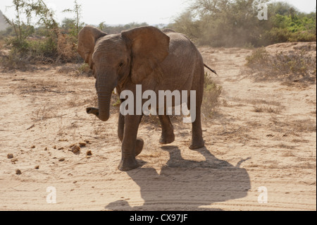 African desert elephant in Damaraland, Namibia - Stock Photo
