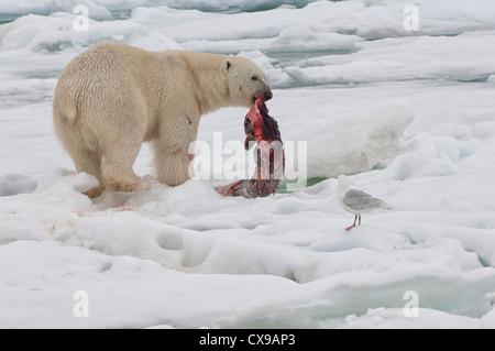 Male polar bear (Ursus maritimus) with a seal prey, Svalbard Archipelago, Barents Sea, Norway - Stock Photo