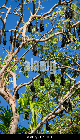 Little Red Flying Foxes, Pteropus scapulatus, roosting in a tree, Litchfield National Park, Northern Territory - Stock Photo