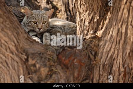 Portrait of an African wild cat (Felis silvestris lybica), Kalahari desert, South Africa - Stock Photo
