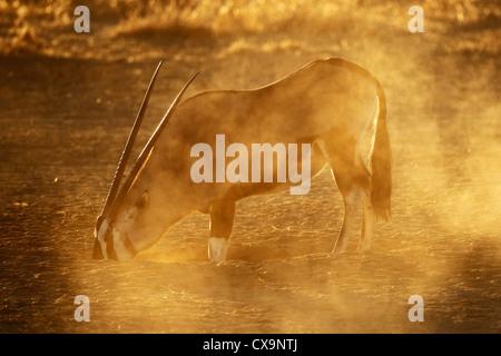 Gemsbok antelope (Oryx gazella) , Kalahari desert, South Africa - Stock Photo