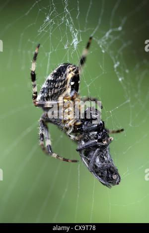 Garden Spider Araneus diadematus With Prey - Stock Photo