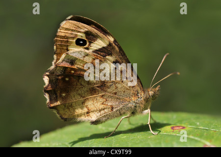 Speckled Wood Pararge aegeria - Stock Photo