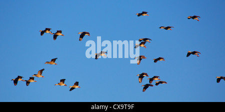 Flock of Plumed Whistling Duck (Dendrocygna eytoni) in flight, Kakadu National Park, Australia - Stock Photo
