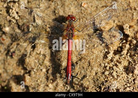 Ruddy Darter Sympetrum sanguineum Male - Stock Photo