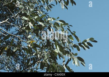 Snow Gum Eucalyptus pauciflora ssp. niphophila - Stock Photo