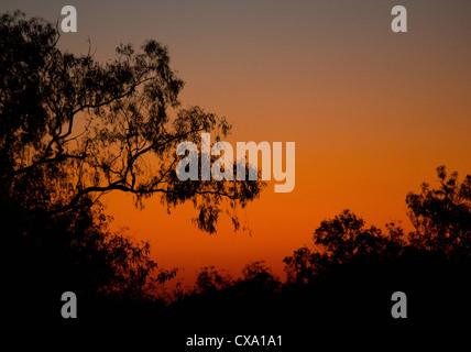 Silhouette of a eucalyptus tree at sunset, Kakadu National Park, Northern Territory - Stock Photo