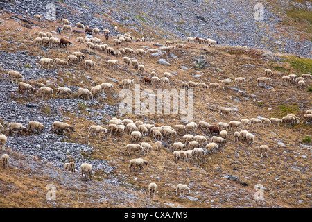 Sheep on the mountain summer pastures near Sestriere, Italy - Stock Photo