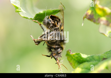 Carcass remains of hanging empty exoskeleton of a bumble bee that has been caught and eaten by common garden spider - Stock Photo