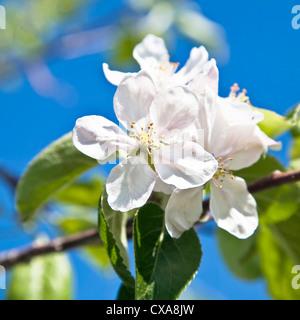 Springtime apple blossom against a bright blue sky. - Stock Photo
