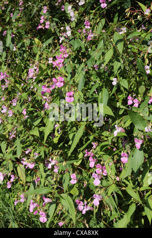 Himalayan or Indian Balsam (Impatiens glandulifera) an invasive non native plant growing in the UK Stock Photo